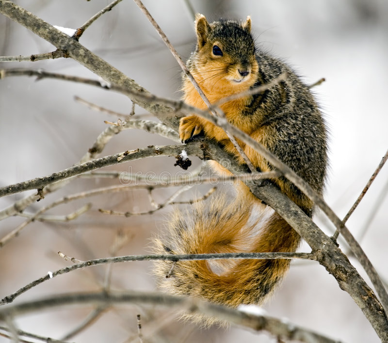 Fox Squirrel. On a tree branch royalty free stock images