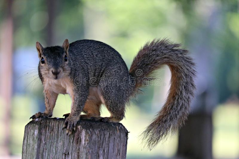 A fox squirrel on the branch of a Cedar Post in Texas. royalty free stock photo