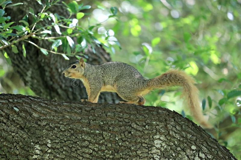 A fox squirrel on the branch of a large oak tree in a forest, near the park. stock photography