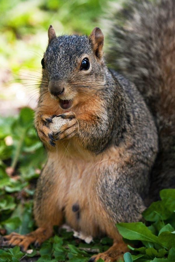 Download Fox Squirrel Eating A Peanut Stock Photo - Image of sciurus, niger: 15101132