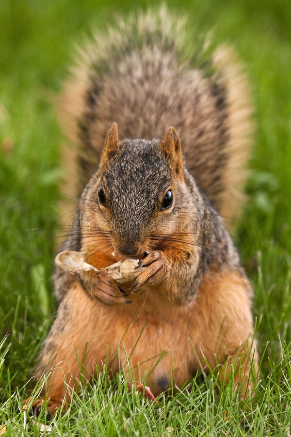 Fox Squirrel Eating A Shelled Peanut Stock Image