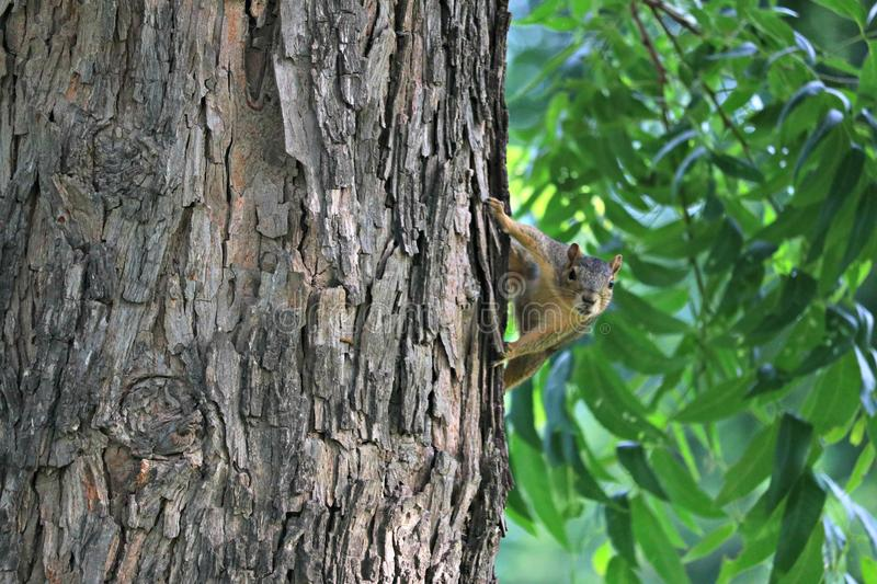A fox squirrel peaking around a large tree in a forested area near the river. stock photo