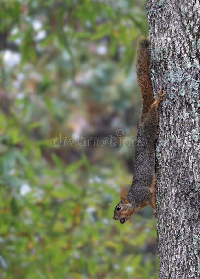 Free Fox Squirrel Poised Against Tree Royalty Free Stock Photo - 168766815