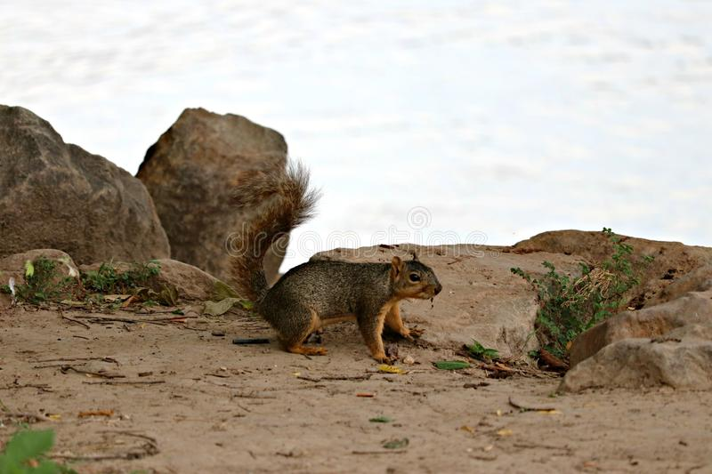A fox squirrel in a rocky area near the river. royalty free stock photo