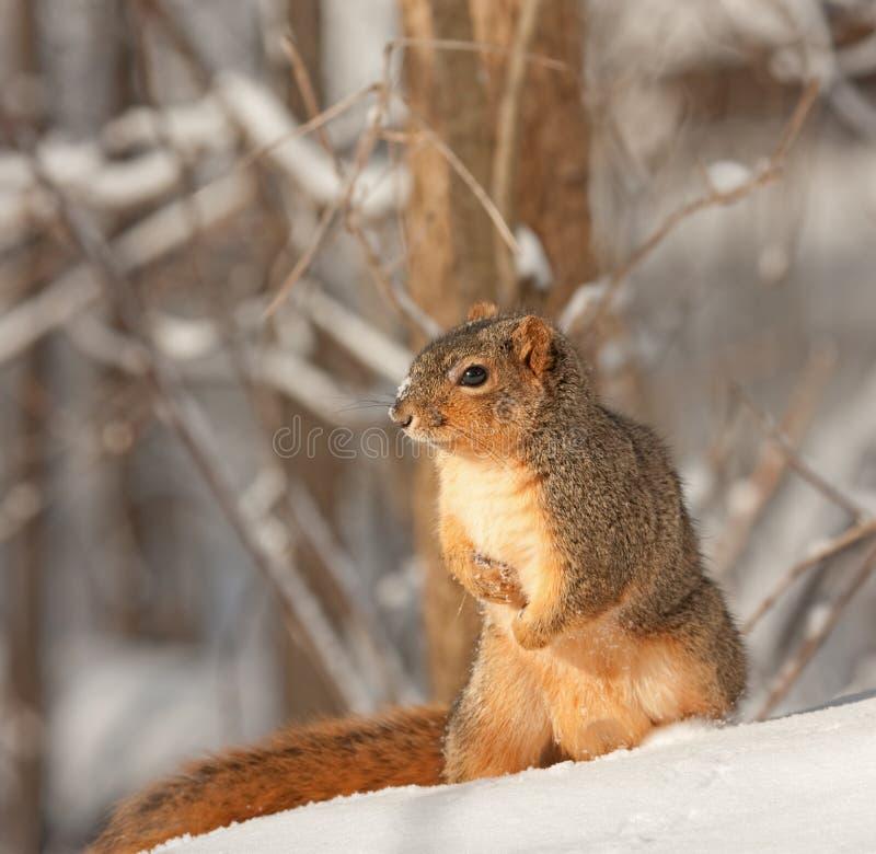 Fox Squirrel, Sciurus niger. Sitting in the snow royalty free stock image