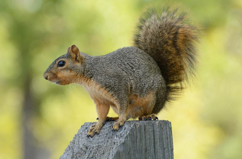 Fox squirrel on post. Fox squirrel or Sciurus niger perched on wooden post against background of yellowing autumn leaves stock photos