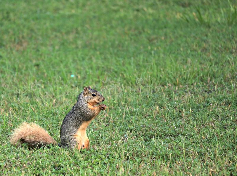A fox squirrel standing on its hind legs eating a nut it found while foraging. royalty free stock photos