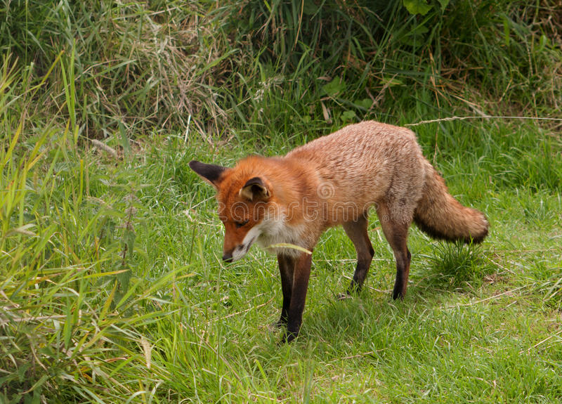 Download Fox standing in a clearing stock photo. Image of grass - 21571026