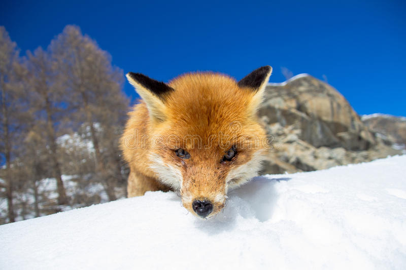 Fox staring at the camera royalty free stock images