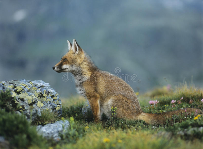 Fox sur le passage de montagne images libres de droits