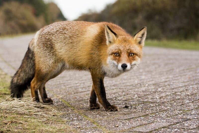 Fox sur une route, curieuse photos libres de droits