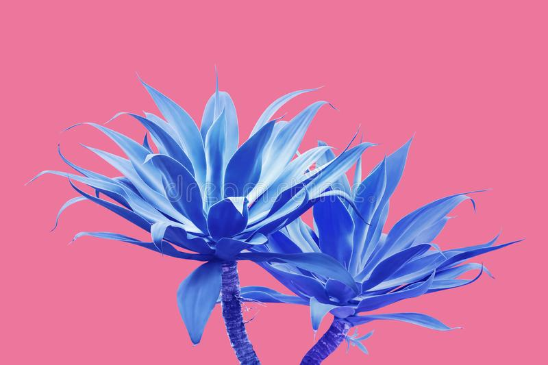 Fox Tail Agave Plants in Blue Tone Color on Bright Pink Background royalty free stock photography