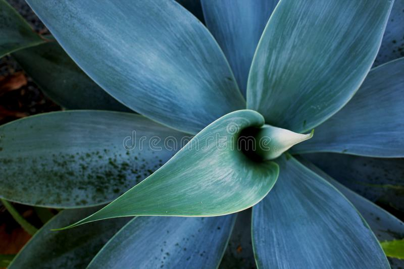 Fox tail Agrave, Agave Attenuata. Agave attenuata is a species of agave sometimes known as the `lion`s tail,` `swan`s neck,` or `foxtail` for its development of royalty free stock photography
