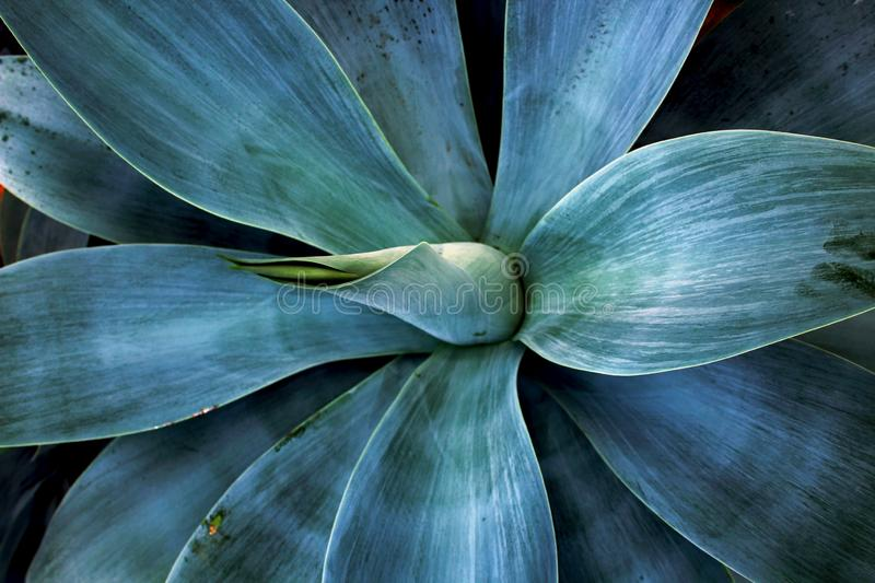 Fox tail Agrave, Agave Attenuata. Agave attenuata is a species of agave sometimes known as the `lion`s tail,` `swan`s neck,` or `foxtail` for its development of royalty free stock image