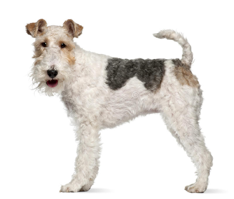 Fox terrier, 1 year old, standing stock images