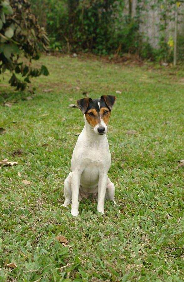 Fox terrier stock photos