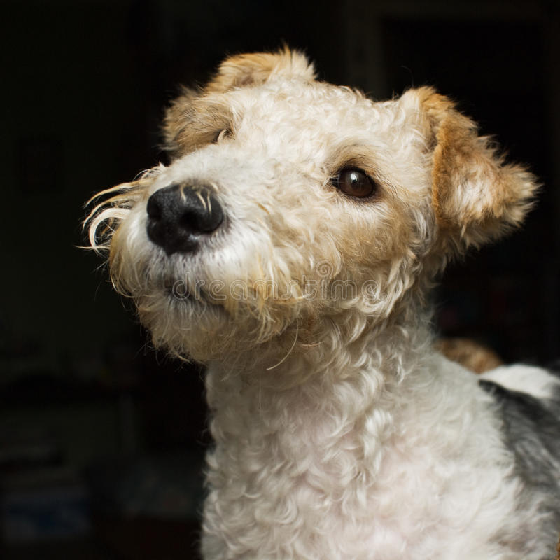 Fox Terrier Royalty Free Stock Image