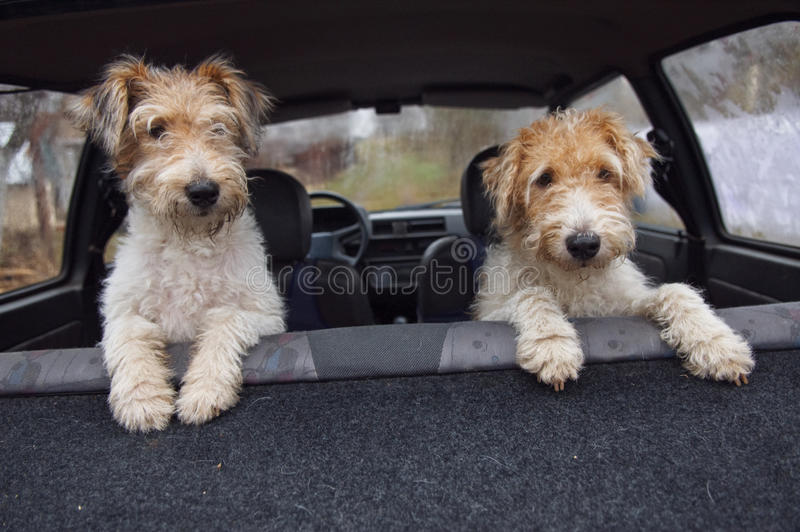 Fox-terrier royalty-vrije stock foto's