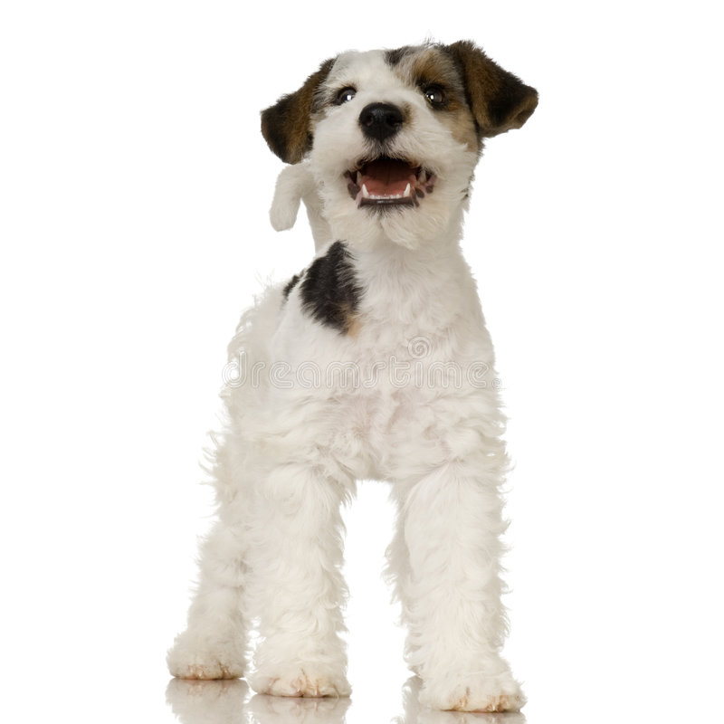Fox terrier stock images