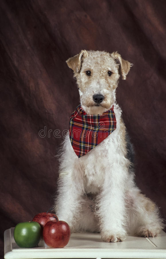 Fox terrier on a student desk with 3 apples. A black white and tan fox terrier wearing a little plaid red scarf, is sitting on top of a white student desk with stock image