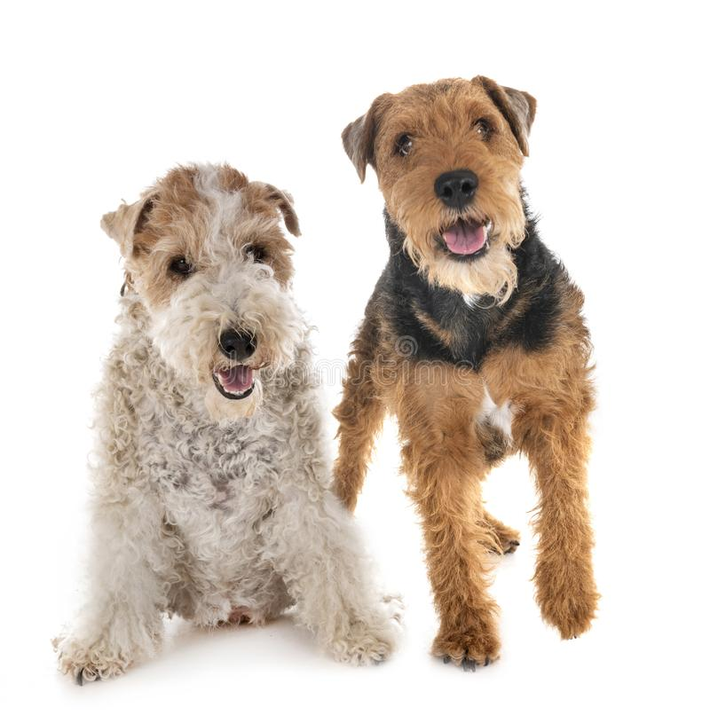 Fox terrier e Welsh terrier fotografia stock