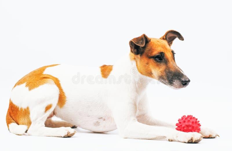 Fox Terrier est un pedigree de chien avec une boule rouge sur un backgro blanc photographie stock libre de droits