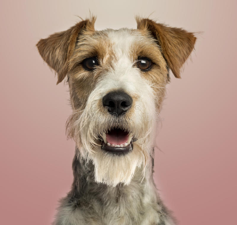 Fox terrier facing, panting, on pink gradient back stock image
