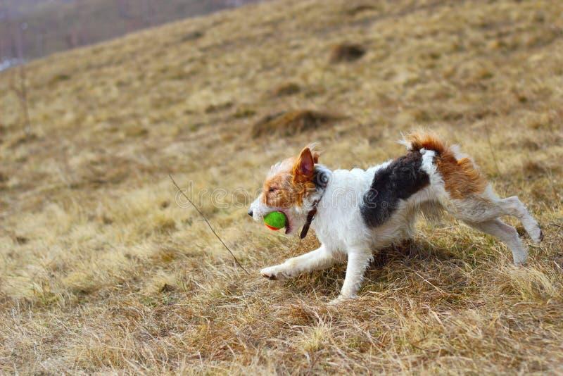 Fox terrier in the field