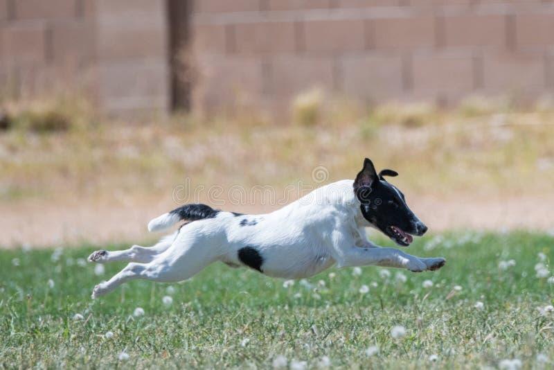 Fox terrier flying over the grass stock photos