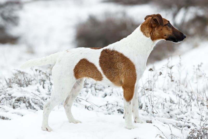 Fox terrier liscio che sta nello scaffale su una superficie piana della neve immagini stock