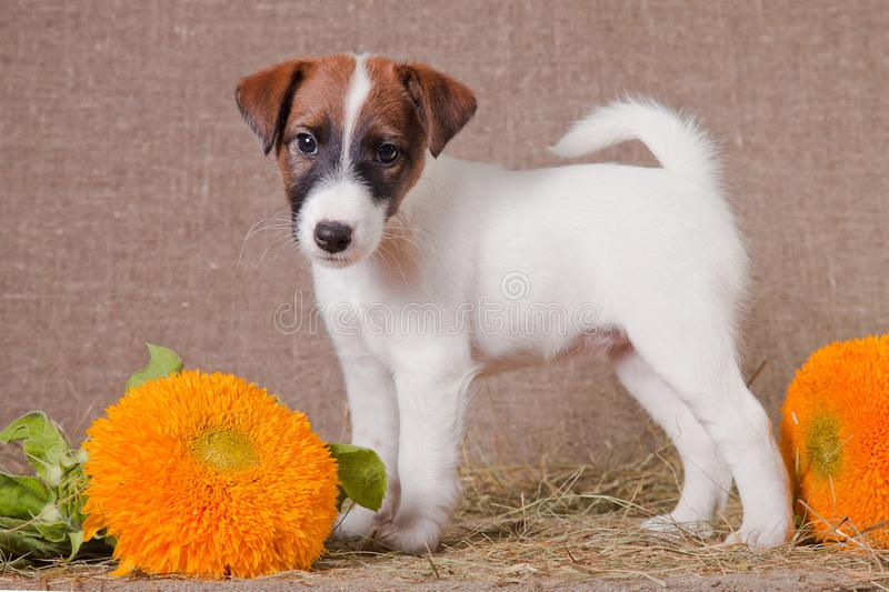 Fox Terrier puppy stands on a hay next to yellow flowers. A small puppy of breed smooth-haired fox-terrier of a white color with red spots is standing indoors on royalty free stock photo