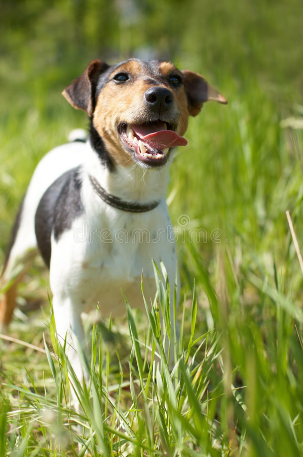 Free Fox Terrier (Smooth) Stock Images - 9343694