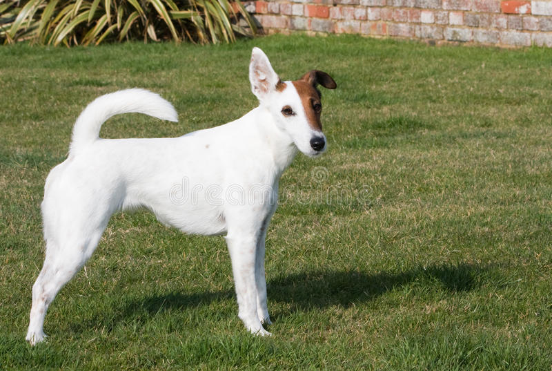 Download Fox Terrier Smooth Dog stock image. Image of nature, bred - 24107319