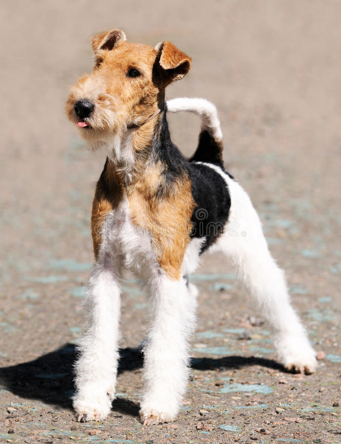 Fox terrier standing royalty free stock image