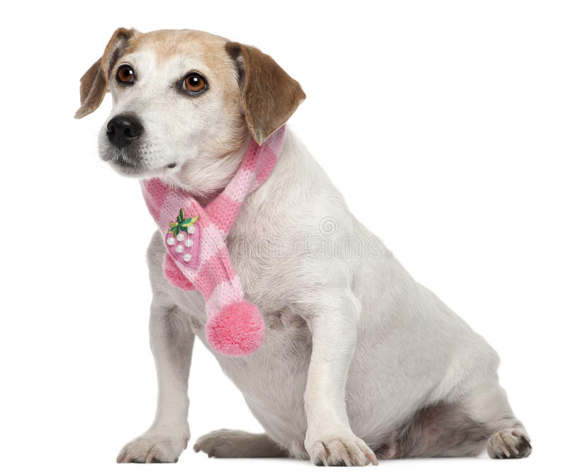 Fox Terrier wearing pink scarf, 8 years old. Sitting in front of white background stock images
