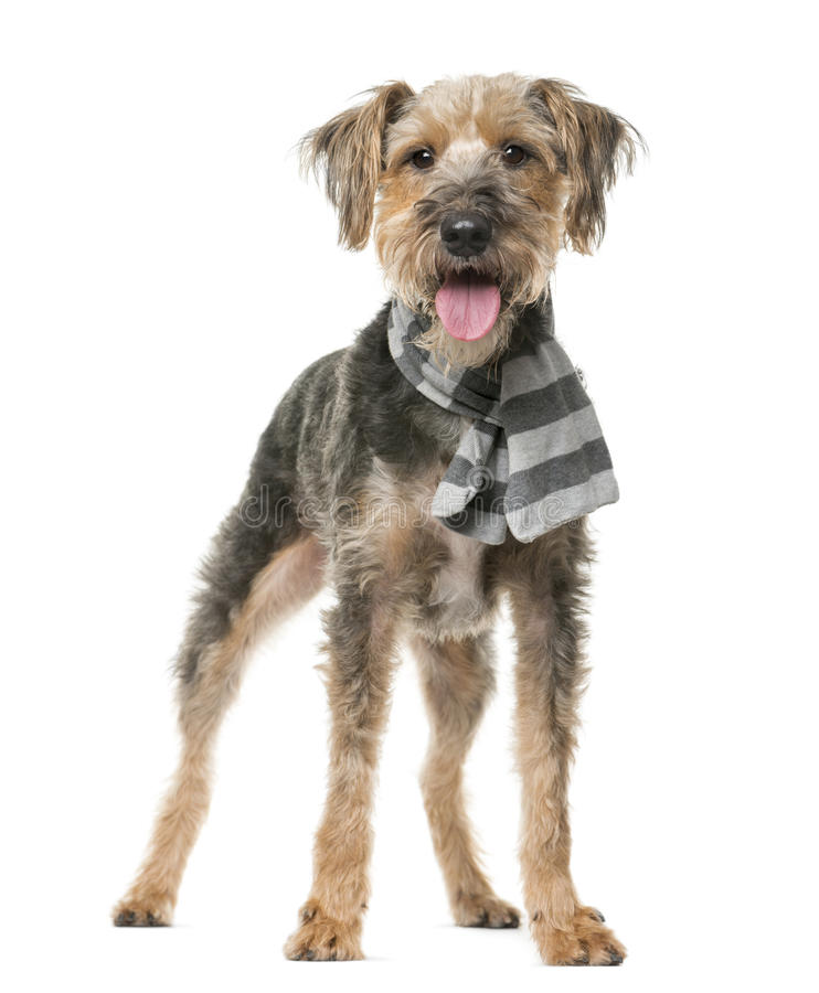 Fox Terrier wearing a scarf. In front of a white background royalty free stock photos