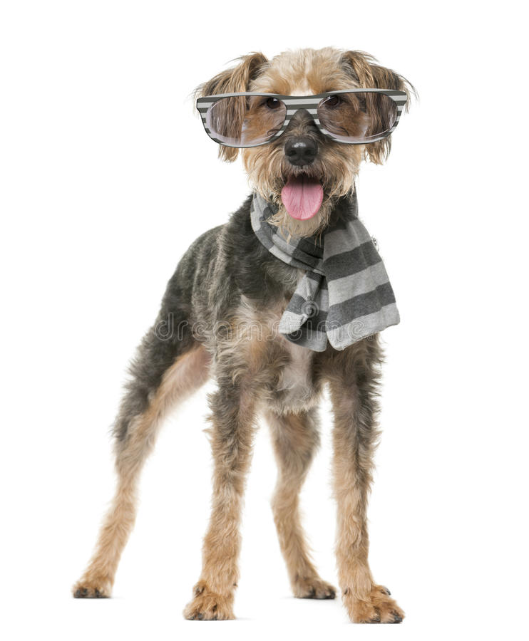 Fox Terrier wearing a scarf and glasses. In front of a white background royalty free stock images