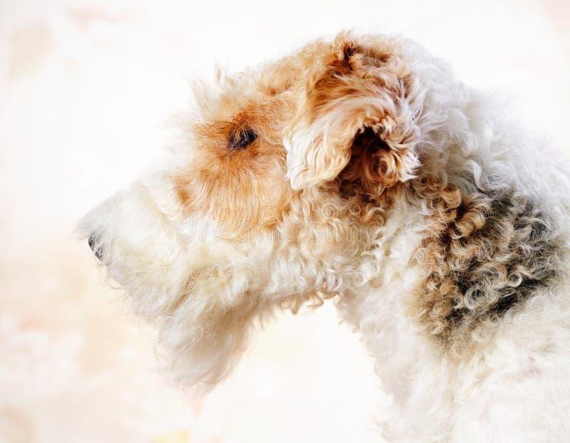 Fox-Terrierportrait lizenzfreies stockfoto