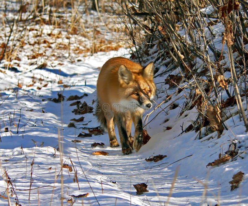 Fox vermelho 4 fotografia de stock royalty free