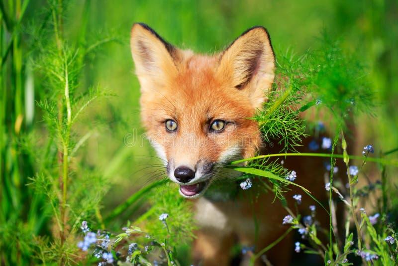 Fox vermelho fotos de stock royalty free