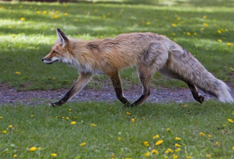 Fox vermelho adulto fêmea imagem de stock