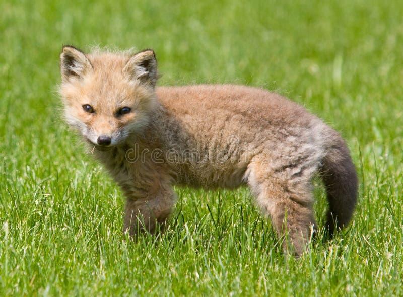 Fox vermelho do bebê americano foto de stock