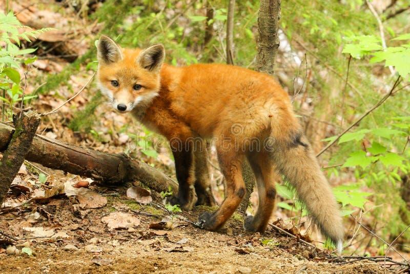 Fox vermelho Kit Baby fotos de stock royalty free