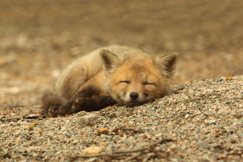 Fox vermelho Kit Sleeping foto de stock