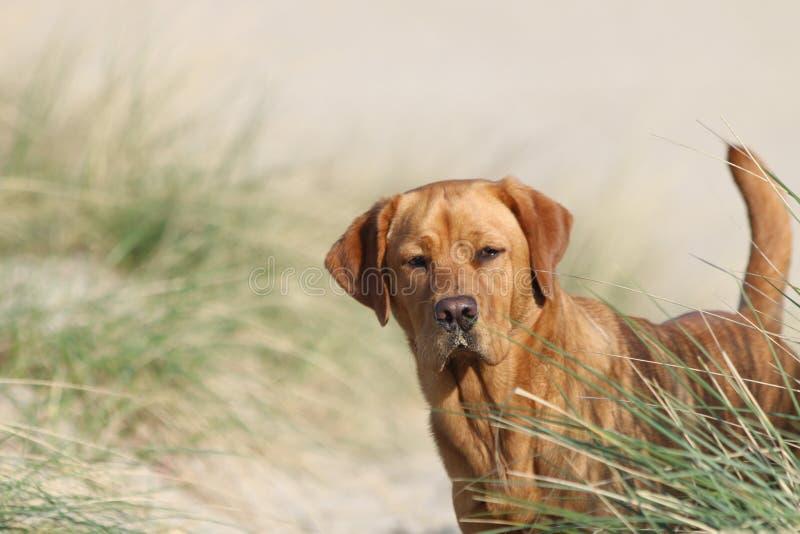Fox vermelho labrador retriever que olha sobre a duna-grama na praia do Mar do Norte do ilse de Vlieland imagem de stock royalty free