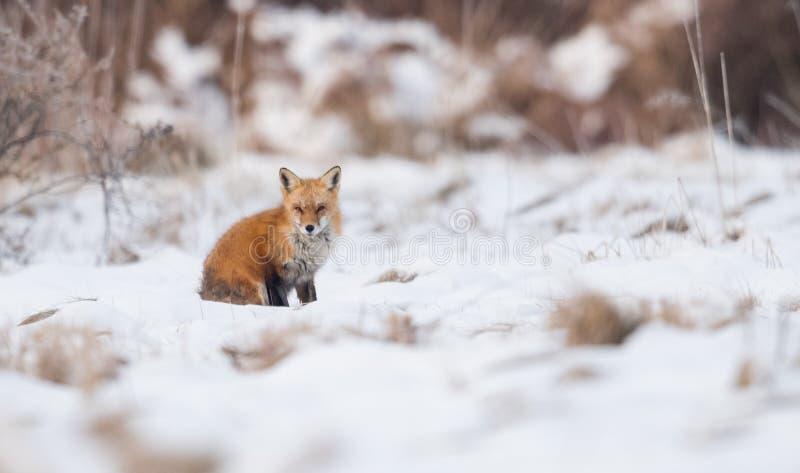 Fox vermelho no inverno foto de stock