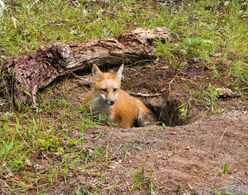 Fox vermelho novo no antro imagem de stock