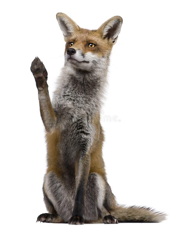 Fox vermelho, o 1 anos de idade, sentando-se com a pata levantada foto de stock