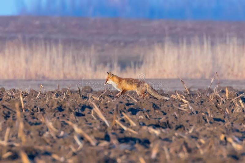 Fox vermelho que anda atrav?s do campo, vulpes do Vulpes da manh? da mola imagens de stock