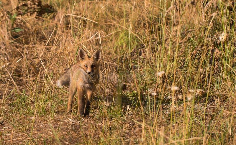Fox vermelho que olha para trás fotos de stock royalty free